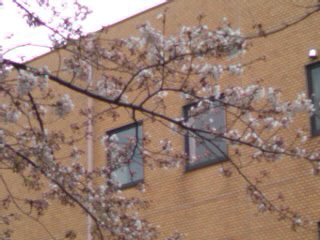 今日の多摩地区某所の桜