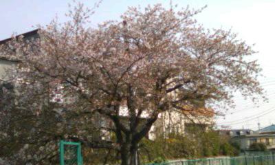 桜ももう最後