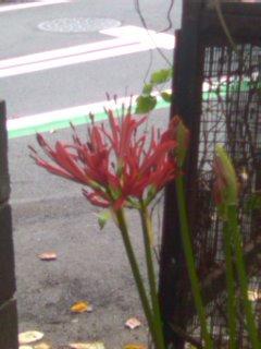 ようやく曼珠沙華が咲き始めました